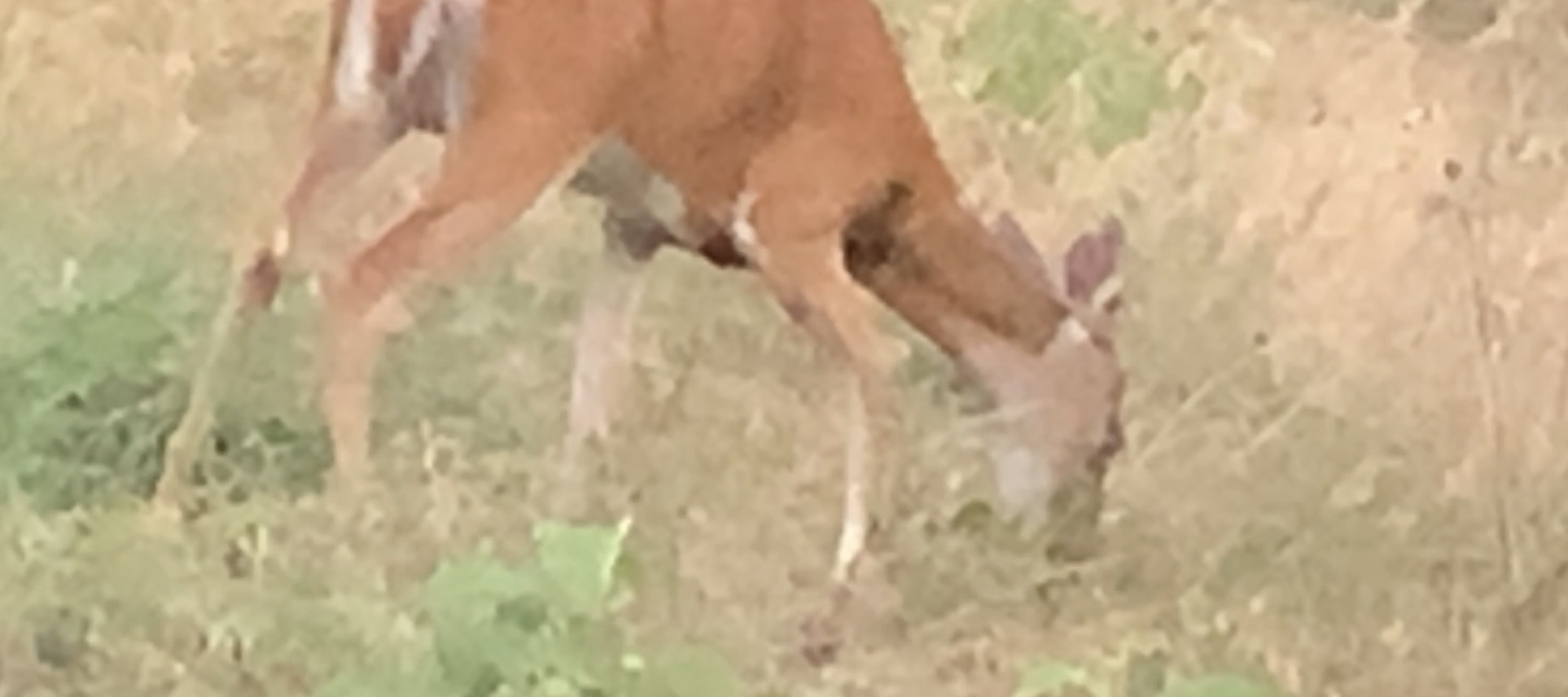 What Are Deer Eating On July 5?