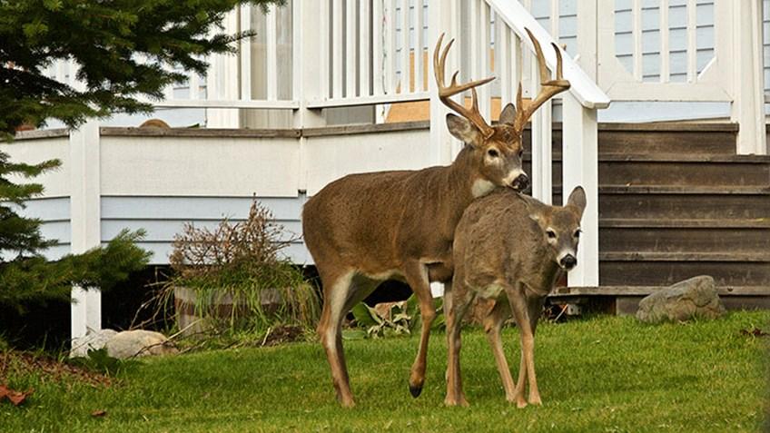 NYC Mayor Bill de Blasio Wants $2 Million for Deer Vasectomies!