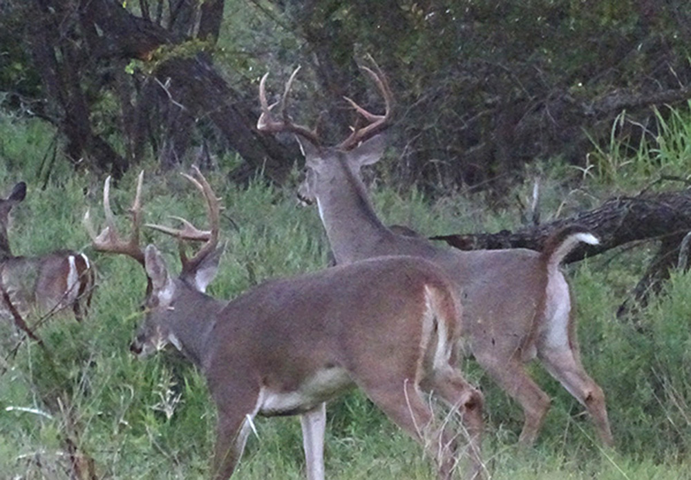 whitetail rut in texas