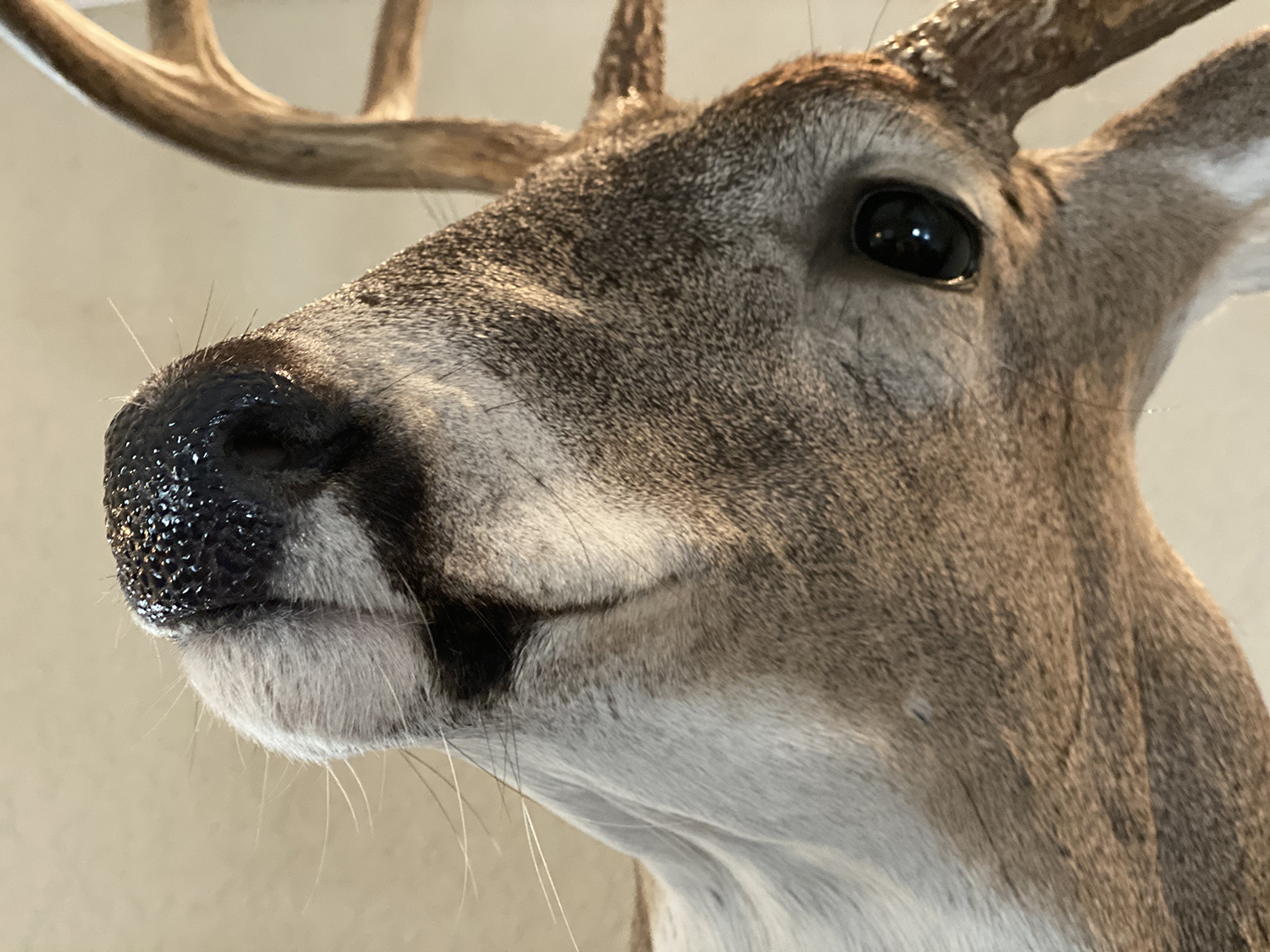 Whitetail deer scent tips
