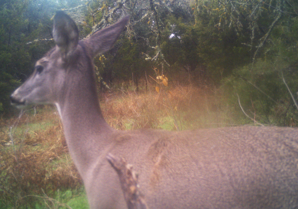 trail Camera whitetail
