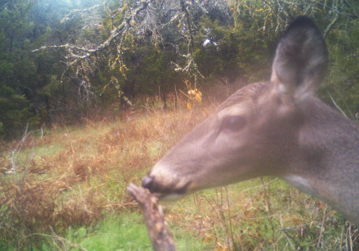 trail camera doe