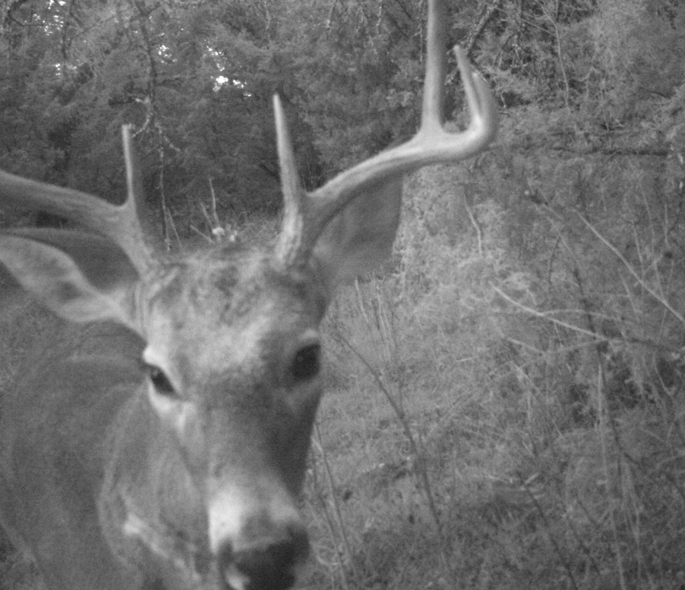 Deer Scouting Pictures Robert Hoague I 00205