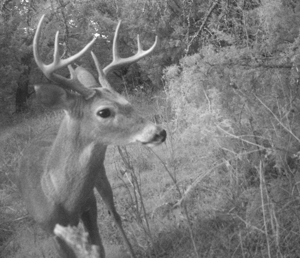 Deer Scouting Pictures Robert Hoague I 00211