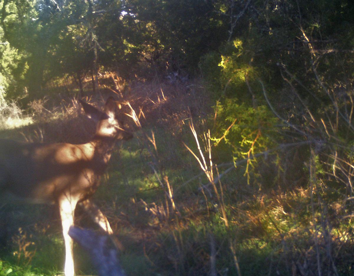 Deer Scouting Pictures Robert Hoague I 00214